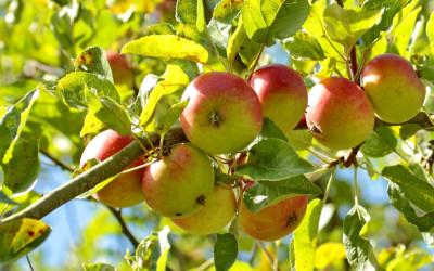 Obstbäume: Allgemeine Informationen, Pflanz- & Pflegehinweise sowie Tipps zur Auswahl